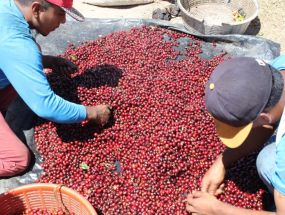 Káva El Salvador El Cipres - Red Cherry Selection